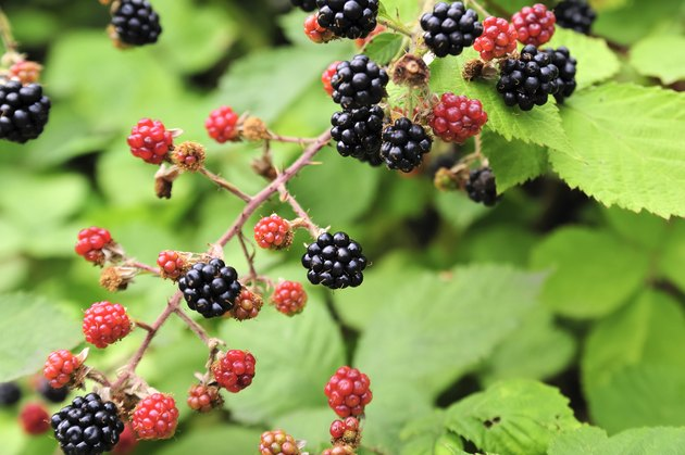 nature food - blackberries bunch on a farm