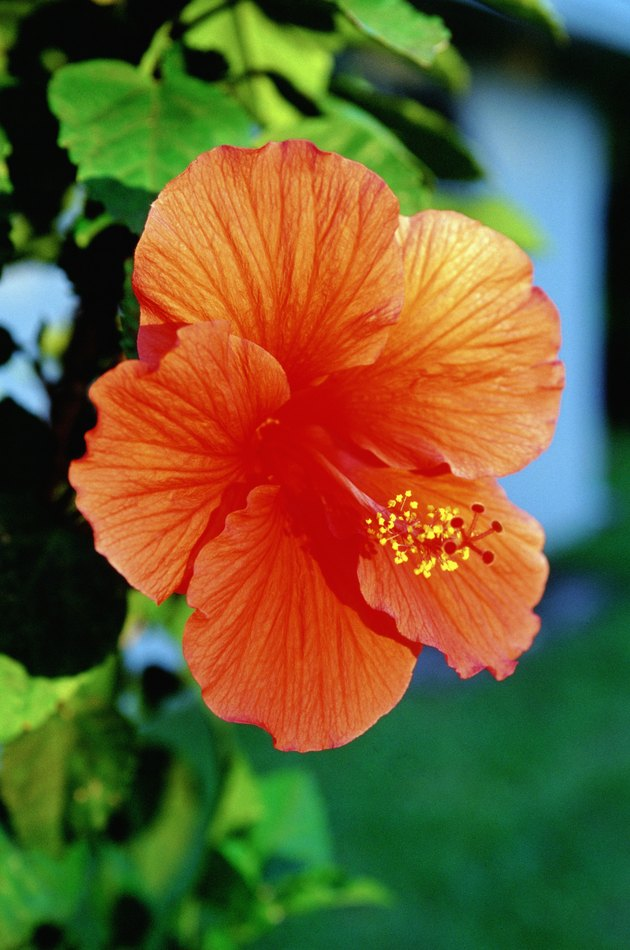 Caribbean, Bahamas, Close-up of red Hibiscus flowers