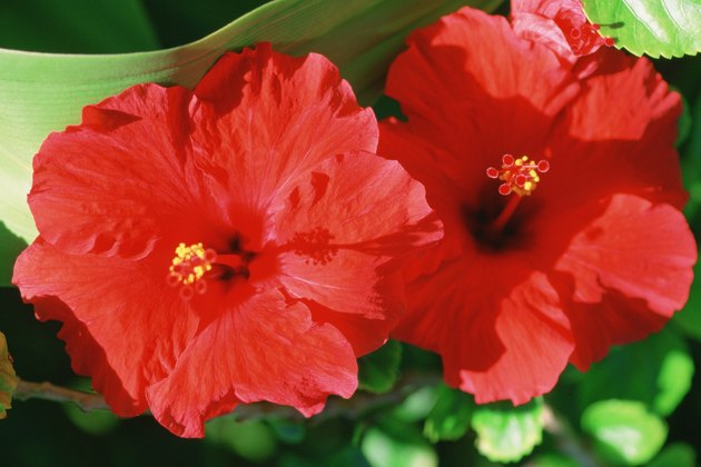 Caribbean, Bahamas, Close-up of Hibiscus flowers