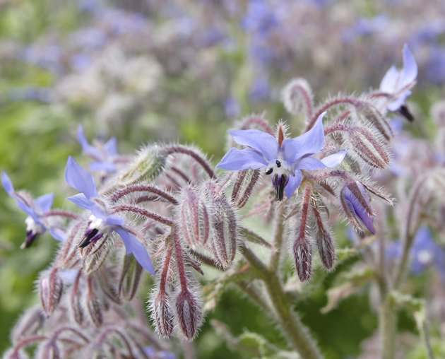 blooming borage