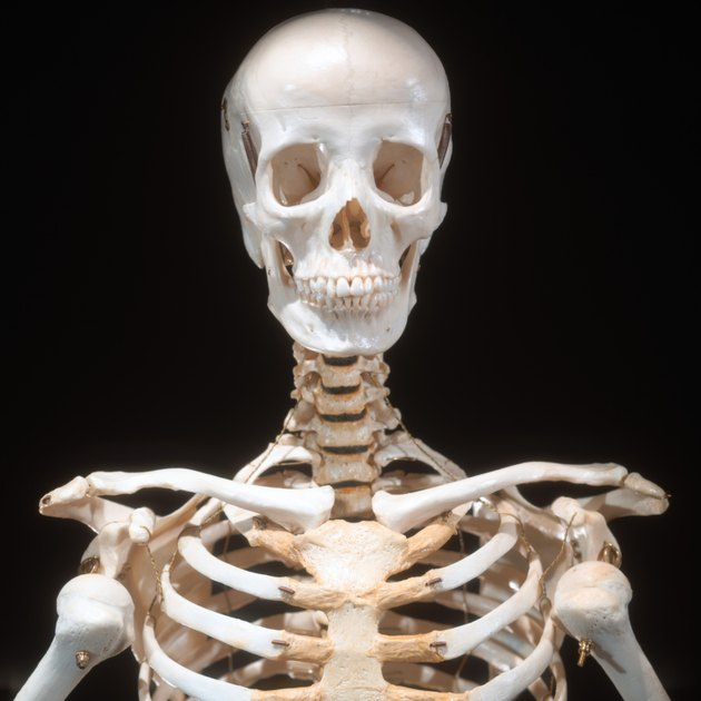 close-up of a skeletal bust