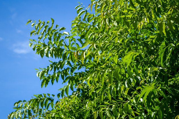 Neem plan tree in garden