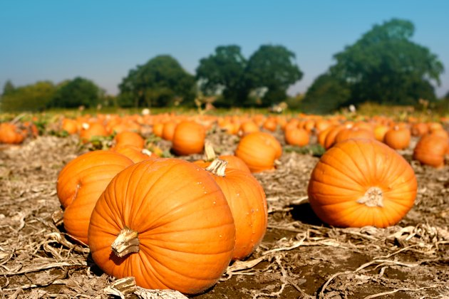 037 Pumpkins in field waiting to be picked..jpg