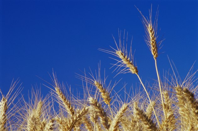 Close-up of wheat crops in a field