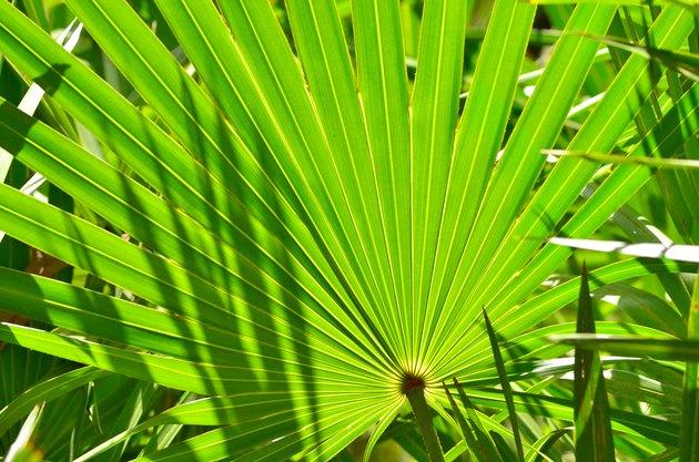Frame filling shot of backlit palm frond