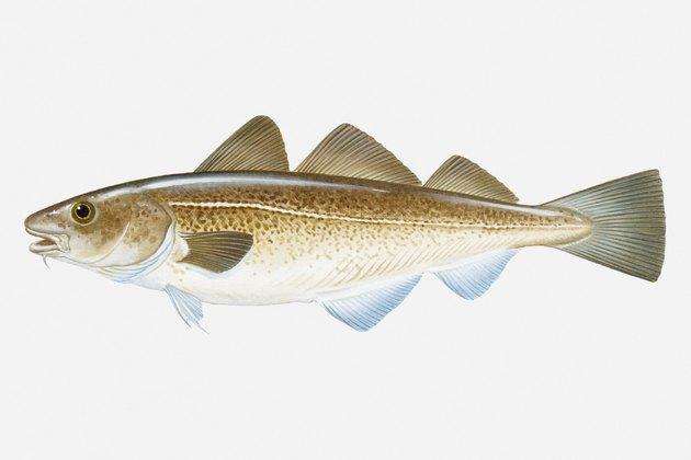 Illustration of Atlantic Cod (Gadus morhua) fish
