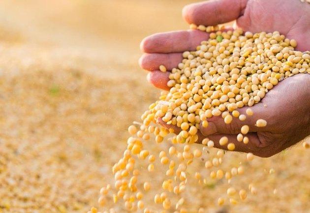 Ripe soya bean seed in hands of farmer