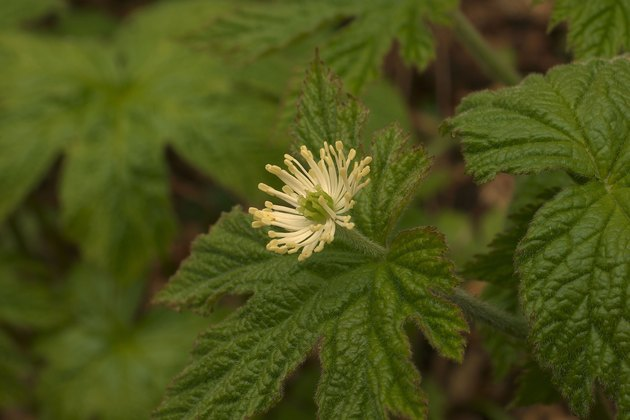 Goldenseal Flower and Leaves