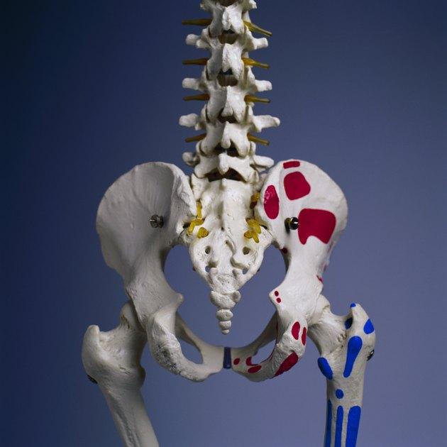 Pelvis of Human Skeleton