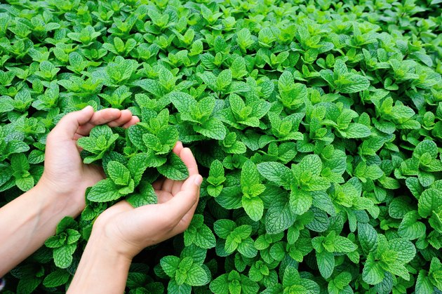 woman hands protect mint plant grow at vegetable garden