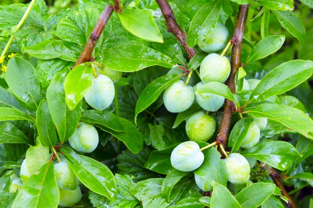 bunches of green plums close-up