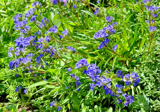 Gentian background