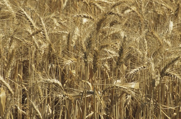 Golden wheat field, close-up