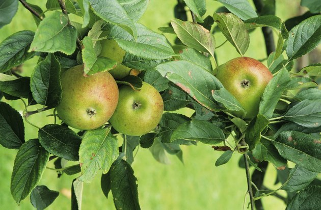 Apples on tree, Worcester Permain, close-up
