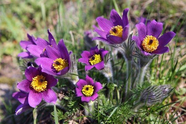 pasqueflower (Pulsatilla vernalis)