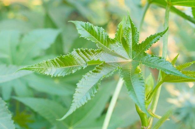 Green buds of Castor oil plant Ricinus communis