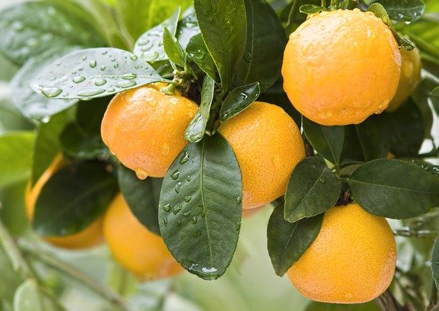 Ripe mandarins  on a tree branch