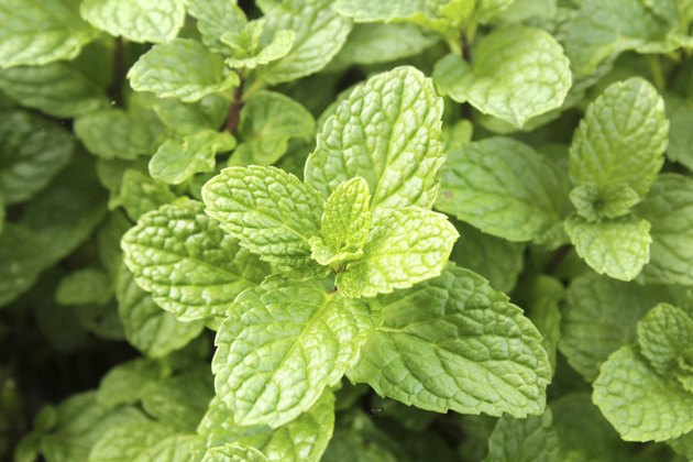 Fresh peppermint.