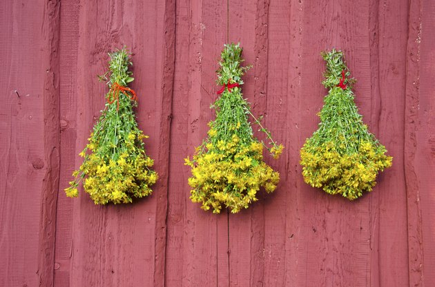 three St Johns wort medical herb bunch on red wall