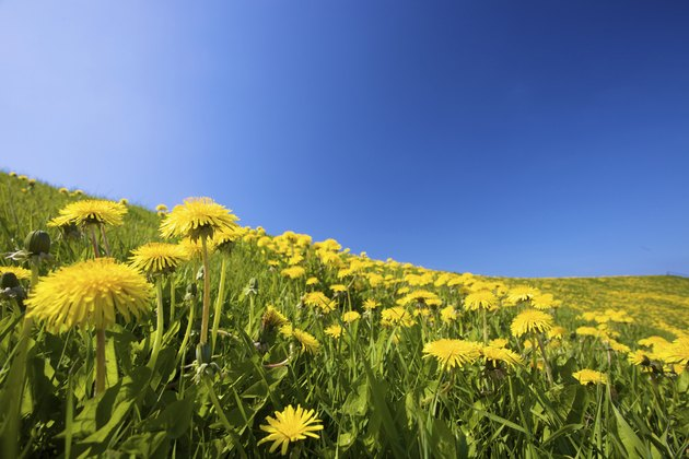 Yellow dandelion flowers on a green field