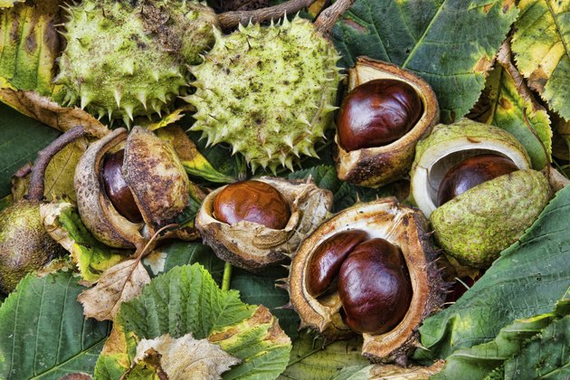 Group of fresh conkers with outer protection and leaves