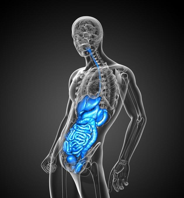 3d render medical illustration of the human digestive system