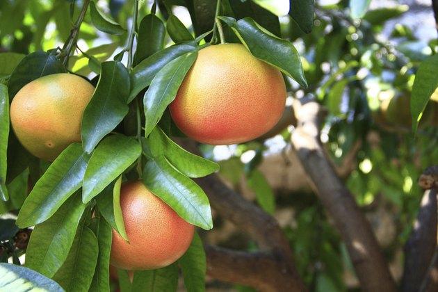 Grapefruit (Citrus paradisi)