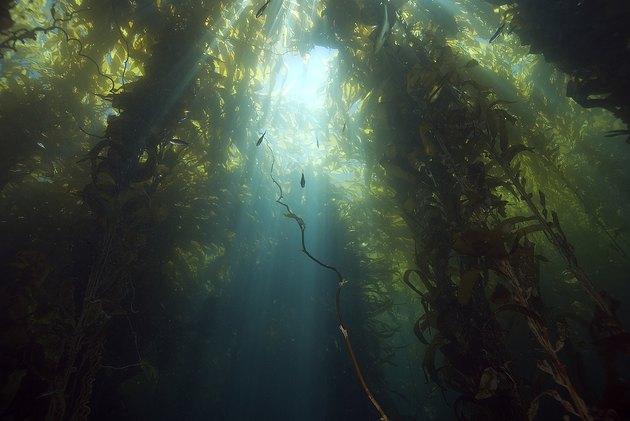 Sunlight through the California kelp forest