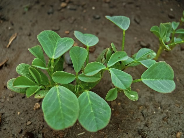 Plant of Fenugreek