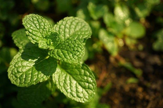 Kitchen Mint  in vegetable garden