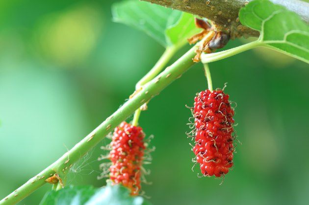 Fresh ripe mulberry berries on tree - Fresh mulberry
