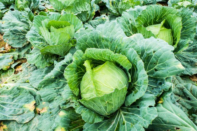 Collard greens are grown as a farm on the mountain.
