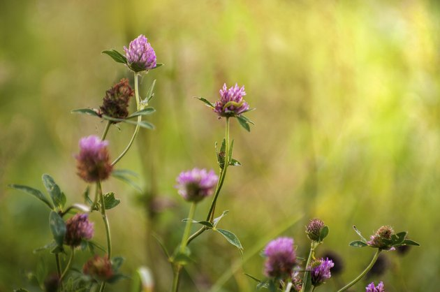 Trifolium pratense - Red clover in different flowering stages