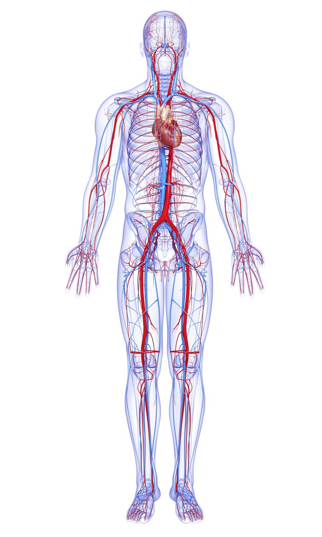 male full body circulatory system highlights heart