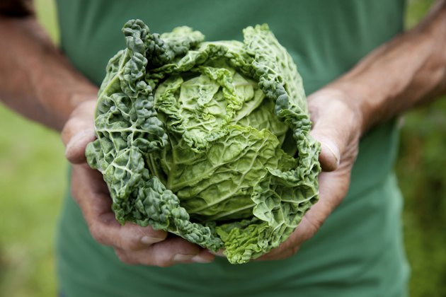 Fresh crop of cabbage