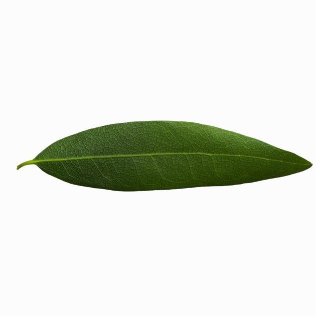 Close-up of a bay leaf