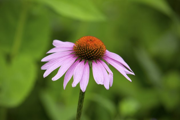 Single purple coneflower, with lavender rays and orange discs, V