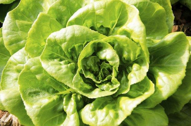 Close up shot of Butterhead Lettuce, Organic garden