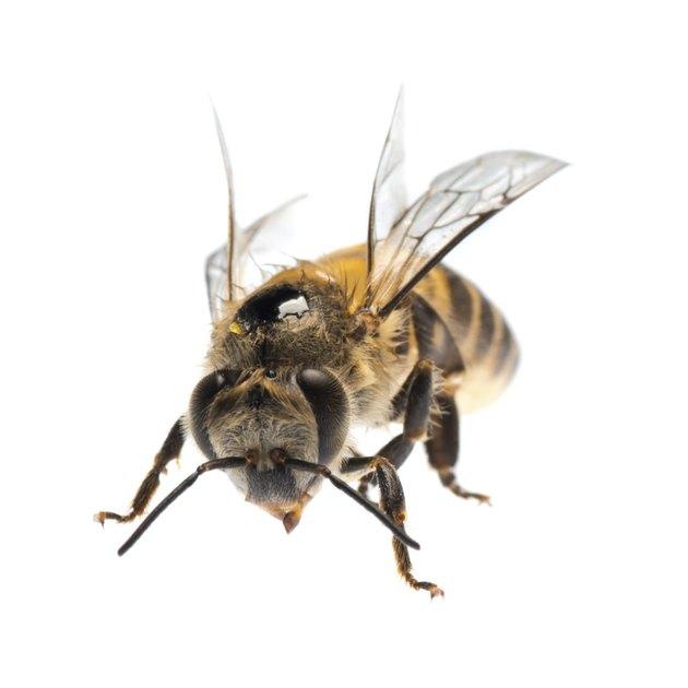 honey bee isolated