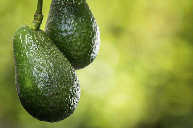 Hass Avocados on Tree