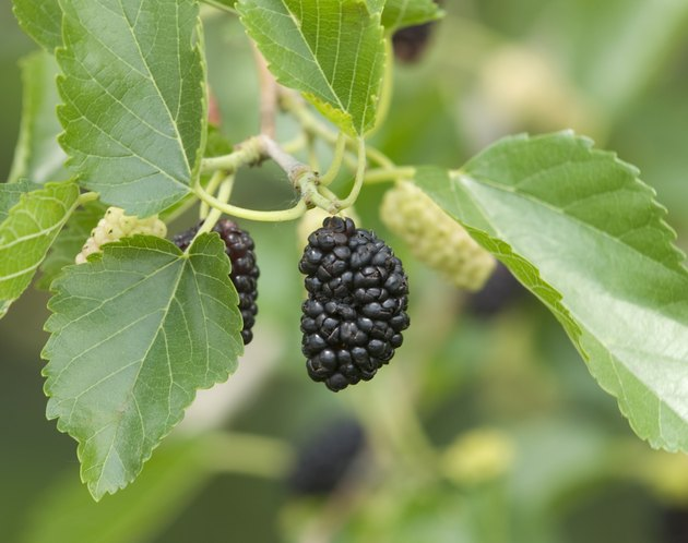 Ripe Mulberry Fruit on Tree