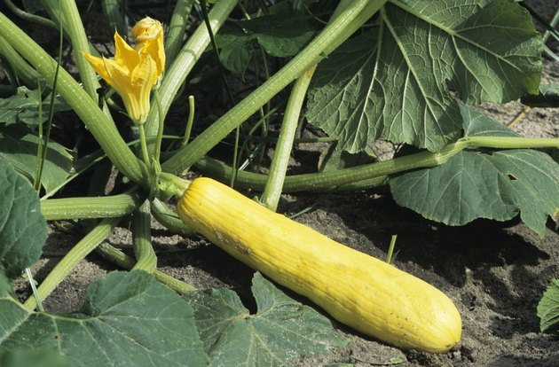 Yellow squash with blossom