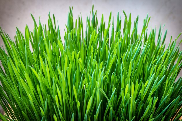 Green wheatgrass