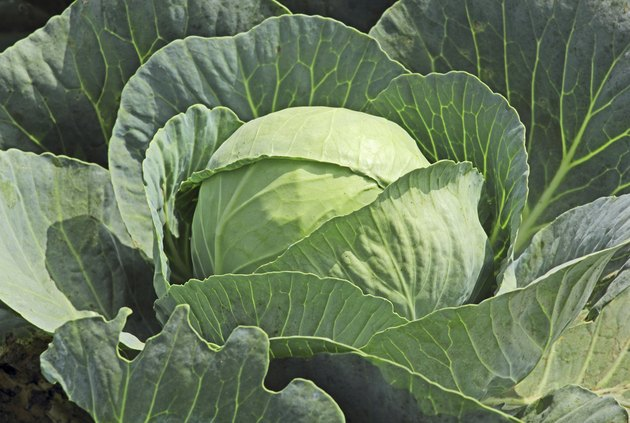 Single Cabbage