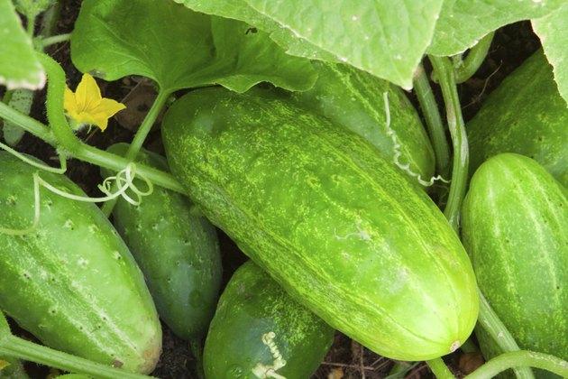 Cucumber plant.