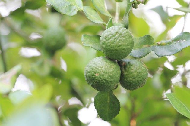 bergamot on the tree