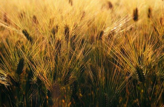 Barley crop