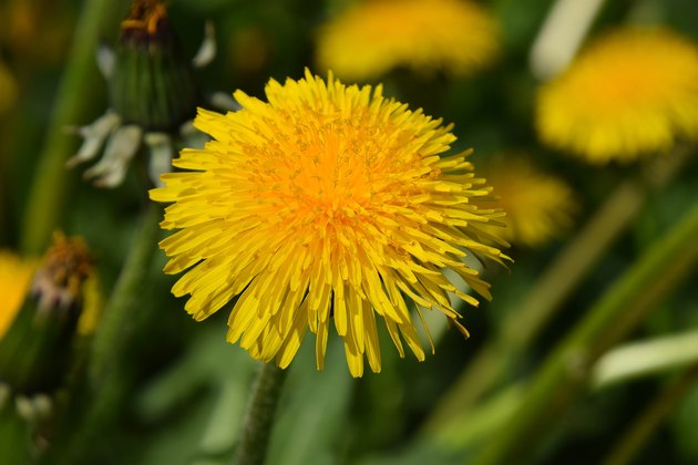 Beautiful bright yellow dandelion flower under sunshine on the g