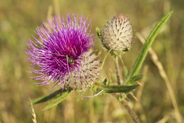 Blooming Milk thistle (Silybum marianum)