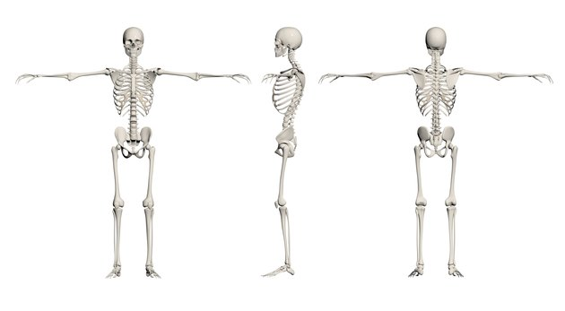 Human Skeleton - male